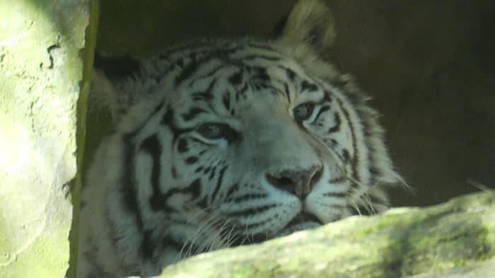 dierenpark amersfoort witte tijger